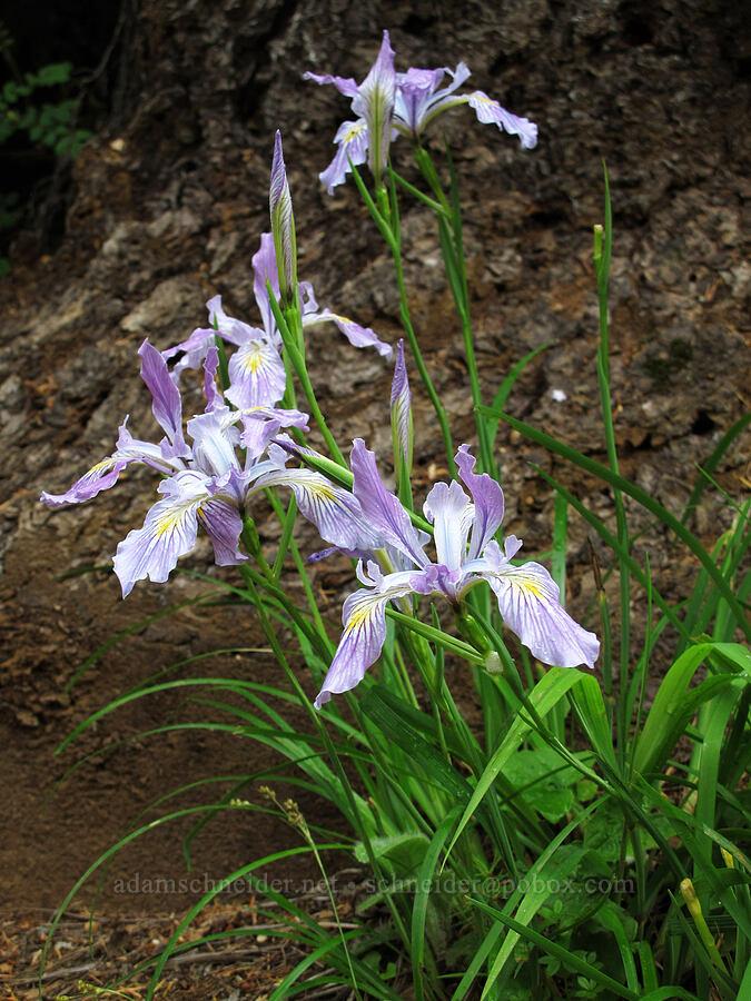 Oregon iris (Iris tenax) [Saddle Mountain Trail, Clatsop County, Oregon]