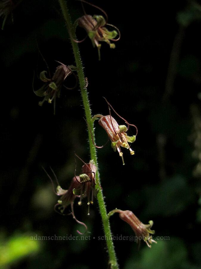 piggyback plant (Tolmiea menziesii) [Saddle Mountain Trail, Clatsop County, Oregon]