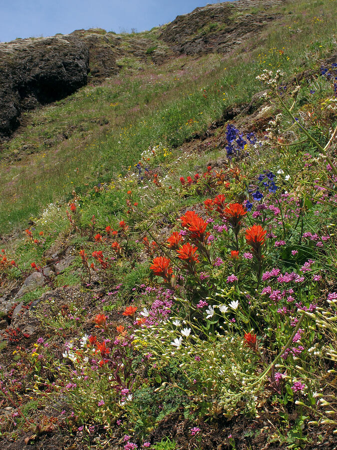 wildflowers [Saddle Mountain Trail, Clatsop County, Oregon]