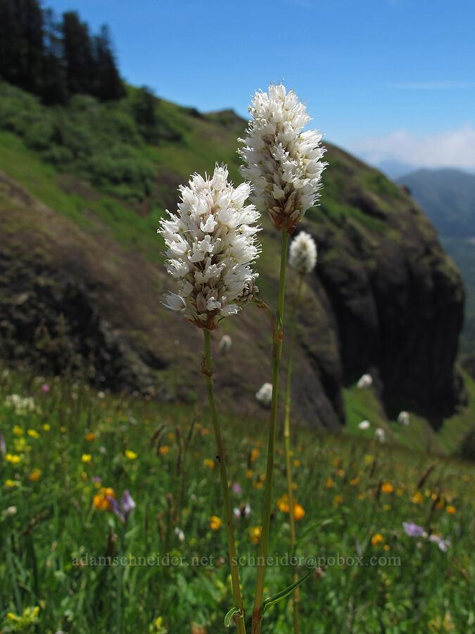 western bistort (Polygonum bistortoides (Bistorta bistortoides)) [Saddle Mountain Trail, Clatsop County, Oregon]