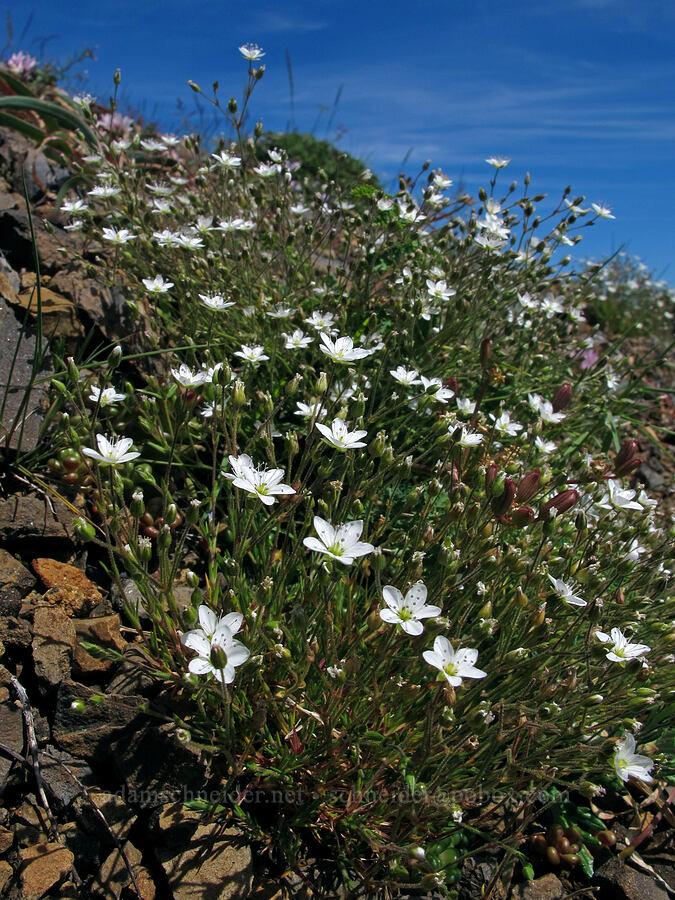 rock sandwort (Minuartia stricta (Arenaria stricta)) [Saddle Mountain Trail, Clatsop County, Oregon]