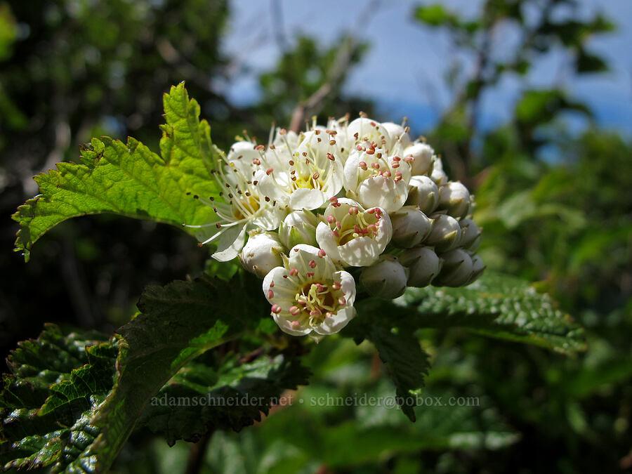 Pacific ninebark flowers (Physocarpus capitatus) [Saddle Mountain summit, Clatsop County, Oregon]
