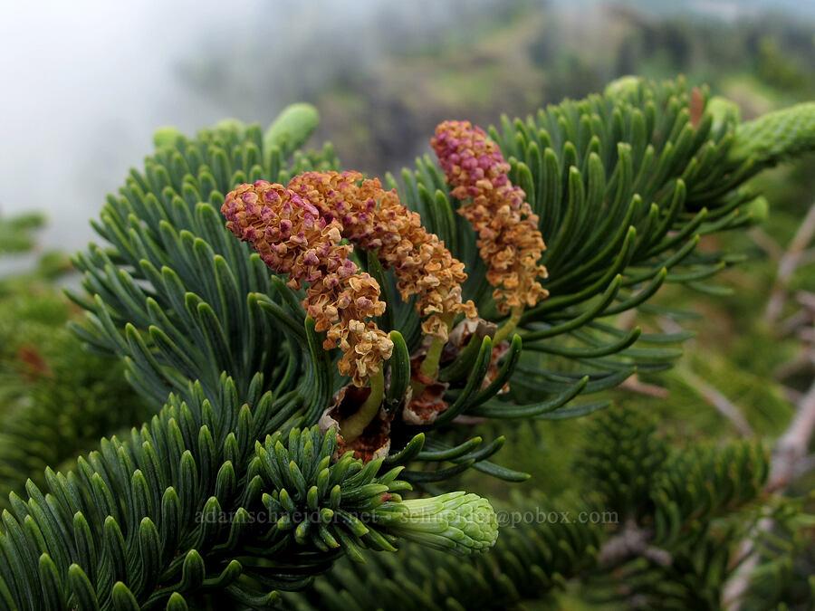 noble fir flowers (Abies procera) [Saddle Mountain summit, Clatsop County, Oregon]