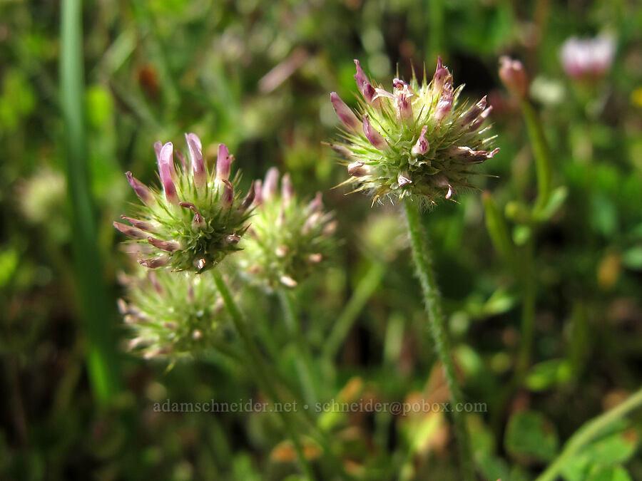 small-headed clover (Trifolium microcephalum) [Saddle Mountain Trail, Clatsop County, Oregon]