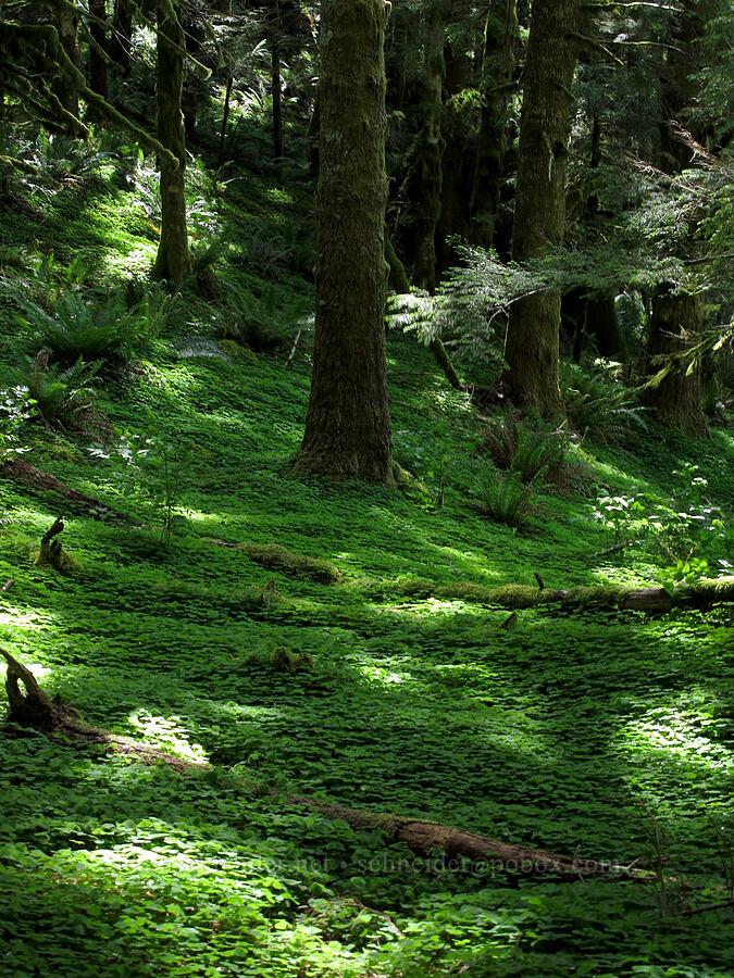 sorrel-carpeted forest (Oxalis oregana) [Saddle Mountain Trail, Clatsop County, Oregon]