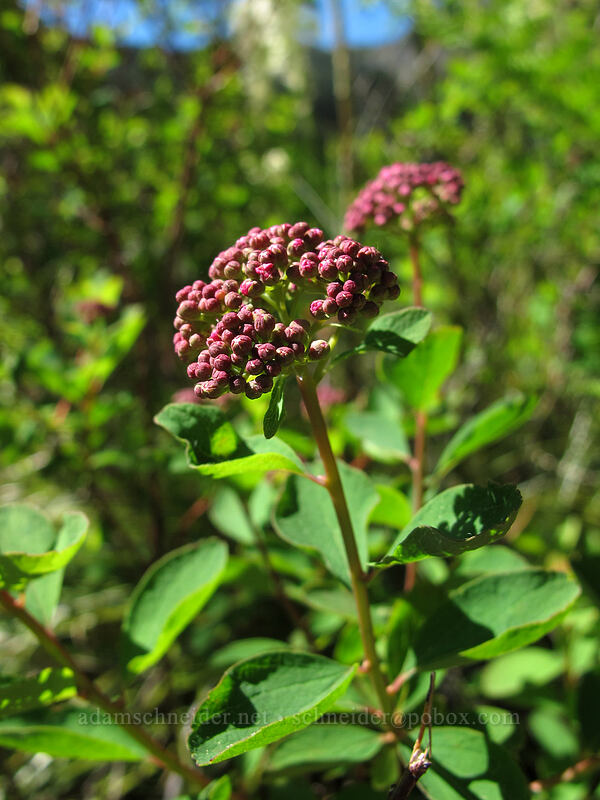 spirea (Spiraea densiflora (Spiraea splendens)) [Mirror Lake, Mt. Hood National Forest, Oregon]