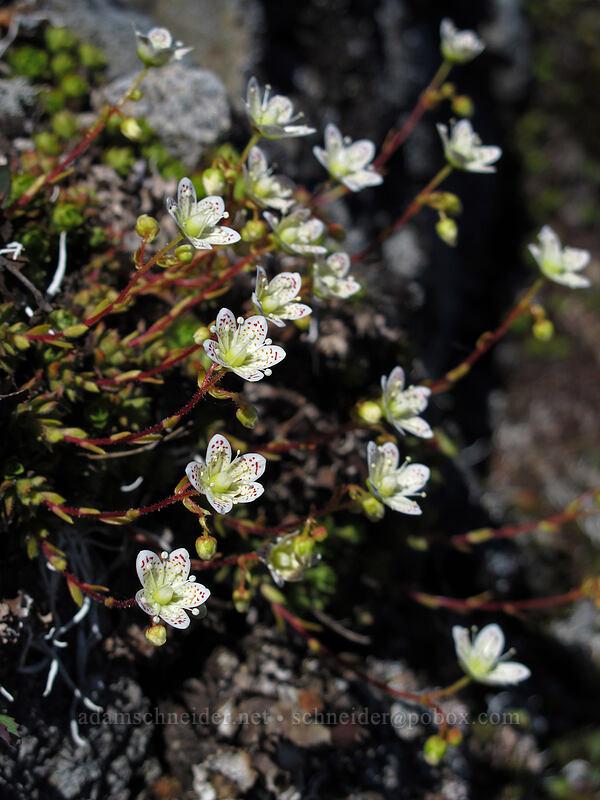 spotted saxifrage (Saxifraga bronchialis var. vespertina) [Tom Dick & Harry Mountain, Salmon-Huckleberry Wilderness, Oregon]
