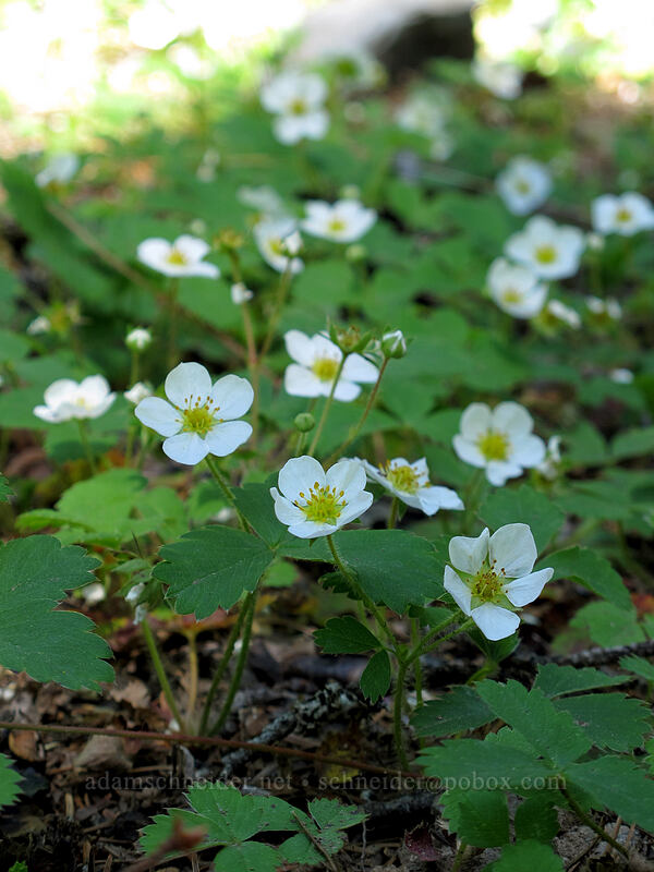 wild strawberry flowers (Fragaria virginiana) [Tom Dick & Harry Mountain, Mt. Hood National Forest, Oregon]