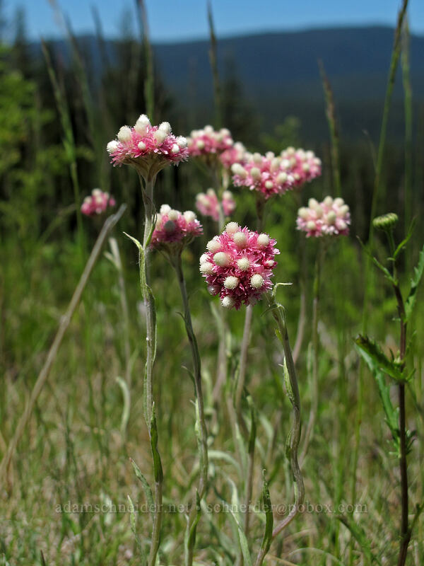 rosy pussy-toes (Antennaria rosea) [Ski Bowl, Mt. Hood National Forest, Oregon]