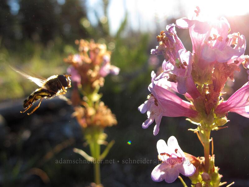 flower fly & glaucous penstemon (Lapposyrphus lapponicus, Penstemon euglaucus) [Jack Lake Trailhead, Deschutes National Forest, Oregon]
