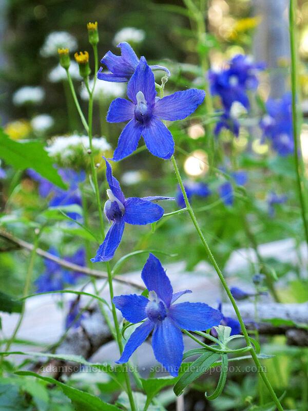larkspur (Delphinium sp.) [Canyon Creek Trail, Mt. Jefferson Wilderness, Oregon]