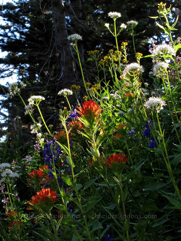 wildflowers (Castilleja hispida, Valeriana sitchensis, Delphinium sp., Senecio triangularis) [Canyon Creek Trail, Mt. Jefferson Wilderness, Oregon]