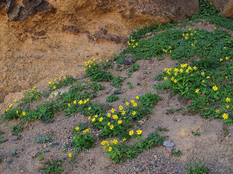 broad-leaf arnica (Arnica latifolia) [Three-Fingered Jack's east ridge, Mt. Jefferson Wilderness, Oregon]