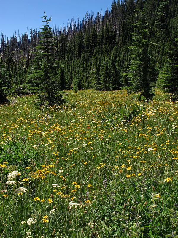 field of arnica (Arnica sp.) [First Creek Meadows, Mt. Jefferson Wilderness, Oregon]