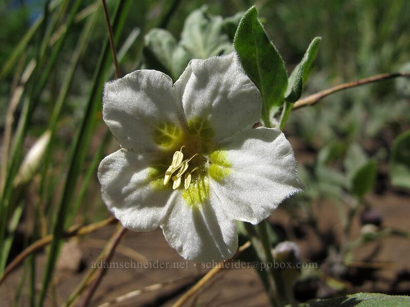 dwarf chamaesaracha (Leucophysalis nana (Chamaesaracha nana)) [Summit Lake Trail, Mt. Jefferson Wilderness, Oregon]