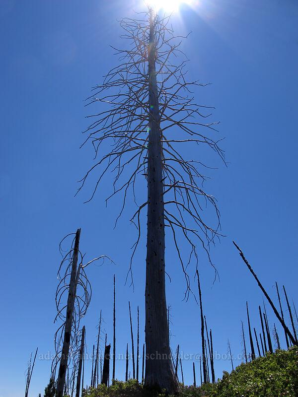 huge dead tree [Summit Lake Trail, Mt. Jefferson Wilderness, Oregon]