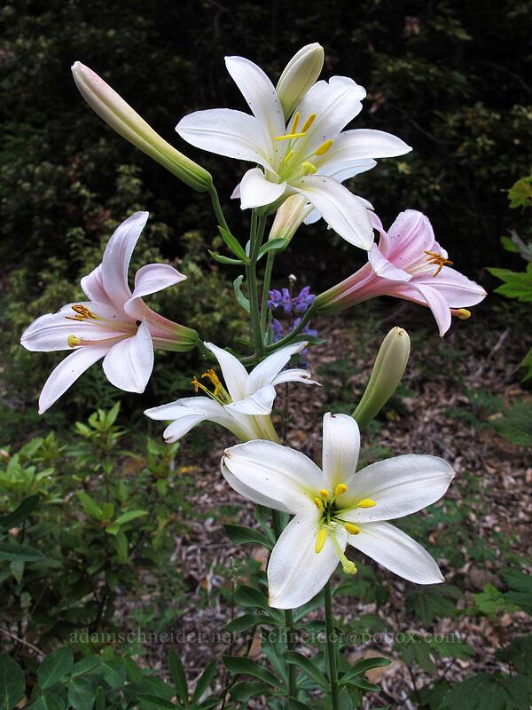 Washington lily (Lilium washingtonianum) [Red Hill Road, Mt. Hood National Forest, Oregon]