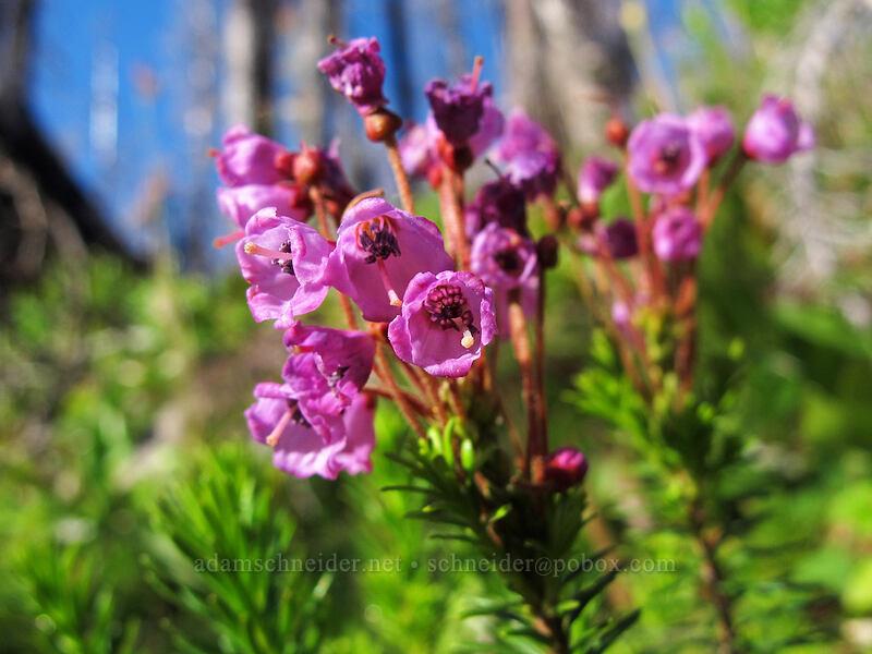 pink mountain heather (Phyllodoce empetriformis) [Vista Ridge Trail, Mt. Hood Wilderness, Oregon]