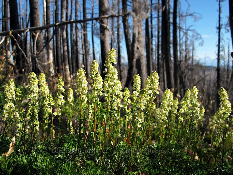 partridgefoot (Luetkea pectinata) [Vista Ridge Trail, Mt. Hood Wilderness, Oregon]