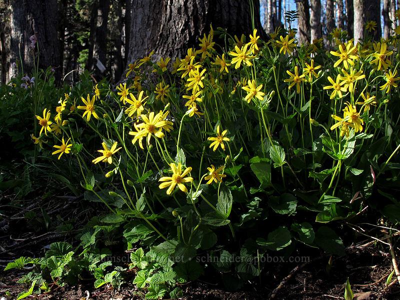 arnica (Arnica latifolia) [Vista Ridge Trail, Mt. Hood Wilderness, Oregon]