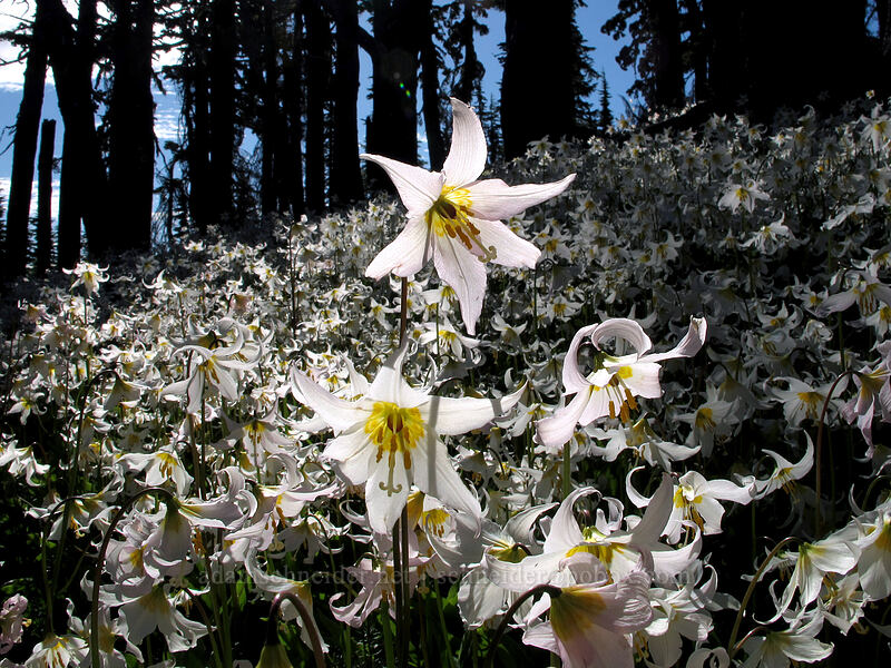 avalanche lilies (Erythronium montanum) [Vista Ridge Trail, Mt. Hood Wilderness, Oregon]