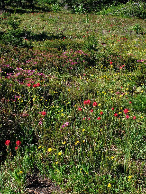 wildflowers (Castilleja parviflora var. oreopola, Phyllodoce empetriformis, Drymocallis sp. (Potentilla sp.)) [Vista Ridge Trail, Mt. Hood Wilderness, Oregon]