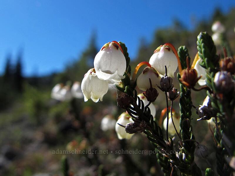 white mountain heather (Cassiope mertensiana) [Vista Ridge Trail, Mt. Hood Wilderness, Oregon]