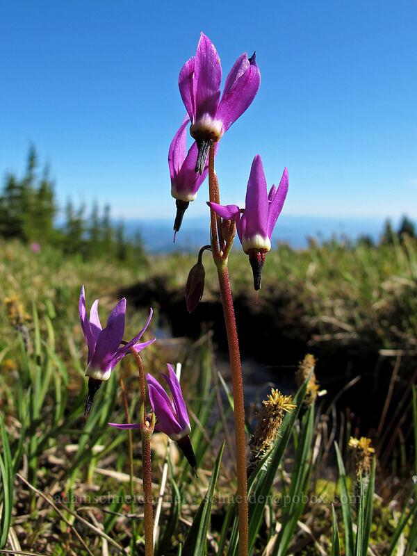 tall mountain shooting stars (Dodecatheon jeffreyi) [Wy'east Basin, Mt. Hood Wilderness, Oregon]