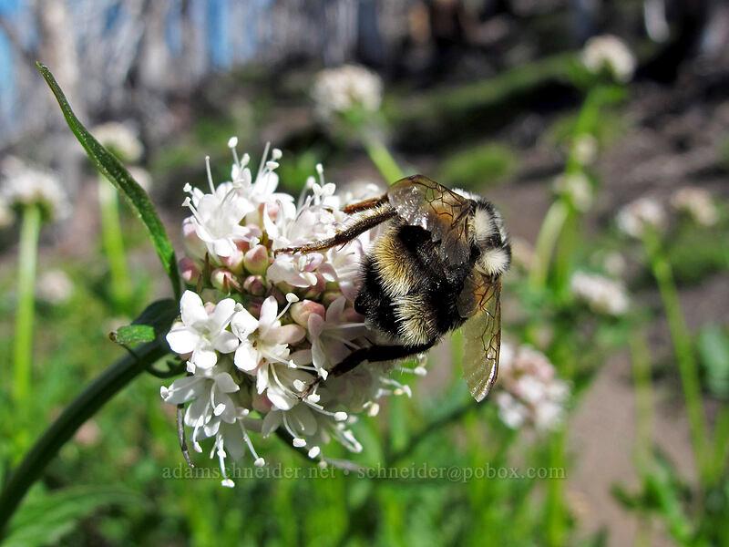 bumblebee on Sitka valerian (Valeriana sitchensis) [Timberline Trail, Mt. Hood Wilderness, Oregon]