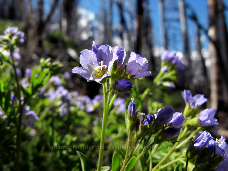 Jacob's ladder (Polemonium californicum) [Timberline Trail, Mt. Hood Wilderness, Oregon]