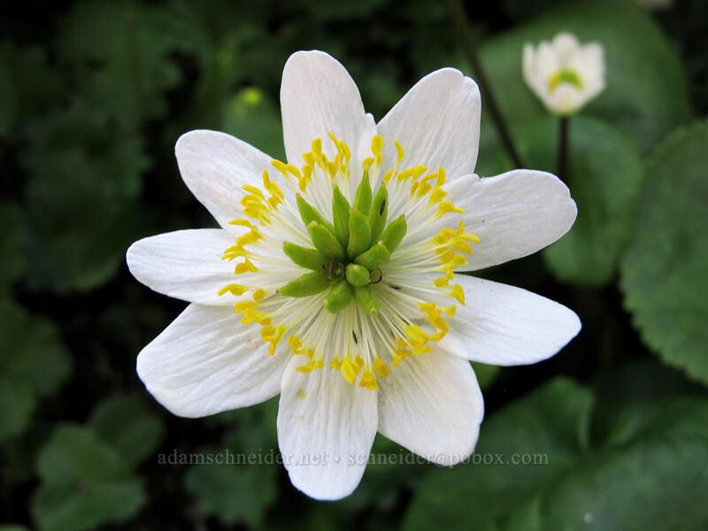 white marsh-marigold (Caltha leptosepala) [Timberline Trail, Mt. Hood Wilderness, Oregon]