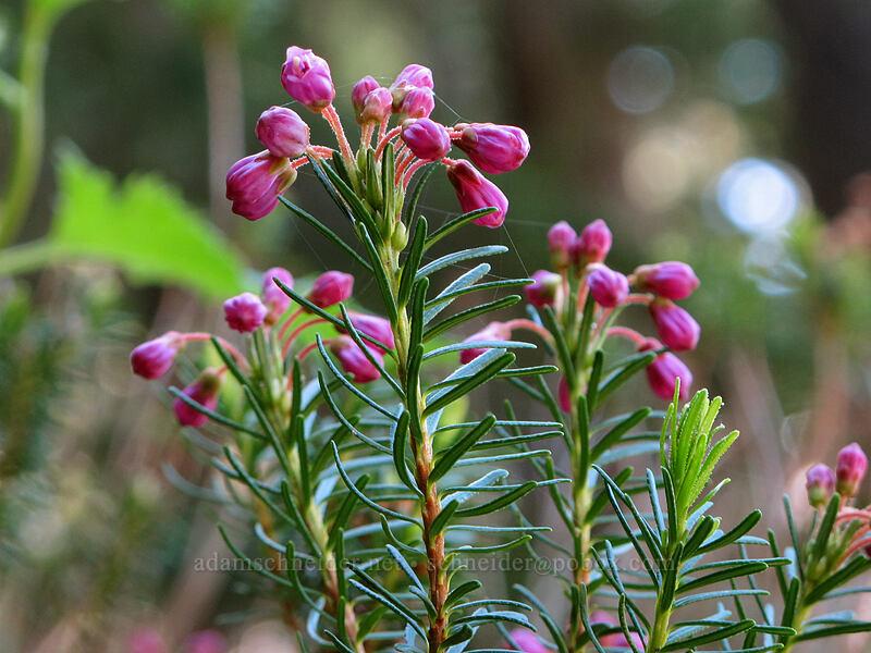pink mountain heather (Phyllodoce empetriformis) [Timberline Trail, Mt. Hood Wilderness, Oregon]