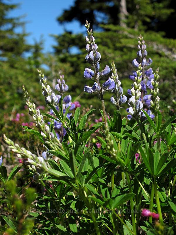 lupines (Lupinus latifolius) [Timberline Trail, Mt. Hood Wilderness, Oregon]