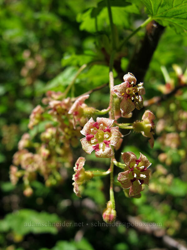 maple-leaf currant (Ribes acerifolium) [Timberline Trail, Mt. Hood Wilderness, Oregon]