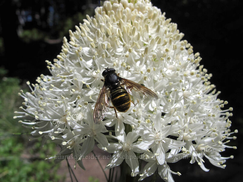 flower fly on beargrass (Hadromyia aldrichi, Xerophyllum tenax) [Timberline Trail, Mt. Hood Wilderness, Oregon]