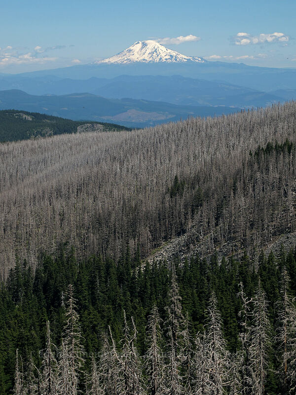 Mt. Adams & burned forest [Timberline Trail, Mt. Hood Wilderness, Oregon]