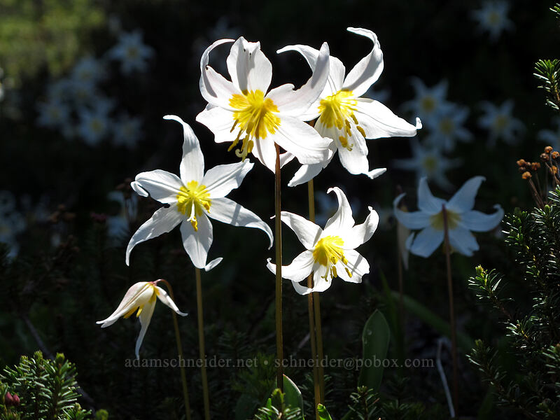 avalanche lilies (Erythronium montanum) [Eden Park Trail, Mt. Hood Wilderness, Oregon]