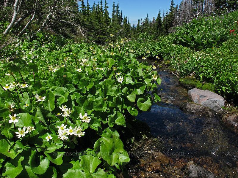 white marsh-marigolds (Caltha leptosepala) [Eden Park Trail, Mt. Hood Wilderness, Oregon]