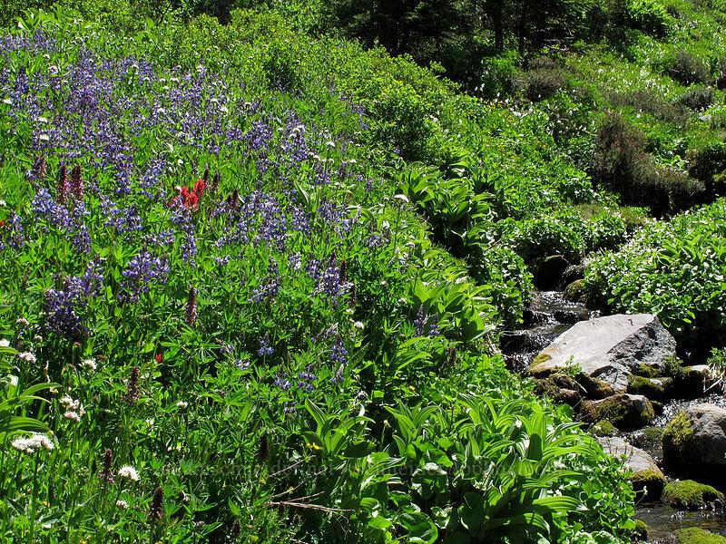 wildflowers (Lupinus latifolius, Pedicularis groenlandica, Valeriana sitchensis, Castilleja parviflora var. oreopola) [Eden Park Trail, Mt. Hood Wilderness, Oregon]