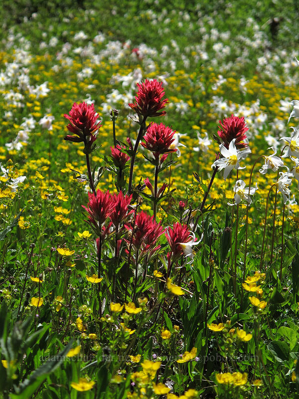 paintbrush, avalanche lilies, & cinquefoil (Castilleja parviflora var. oreopola, Erythronium montanum, Potentilla flabellifolia) [Eden Park Trail, Mt. Hood Wilderness, Oregon]