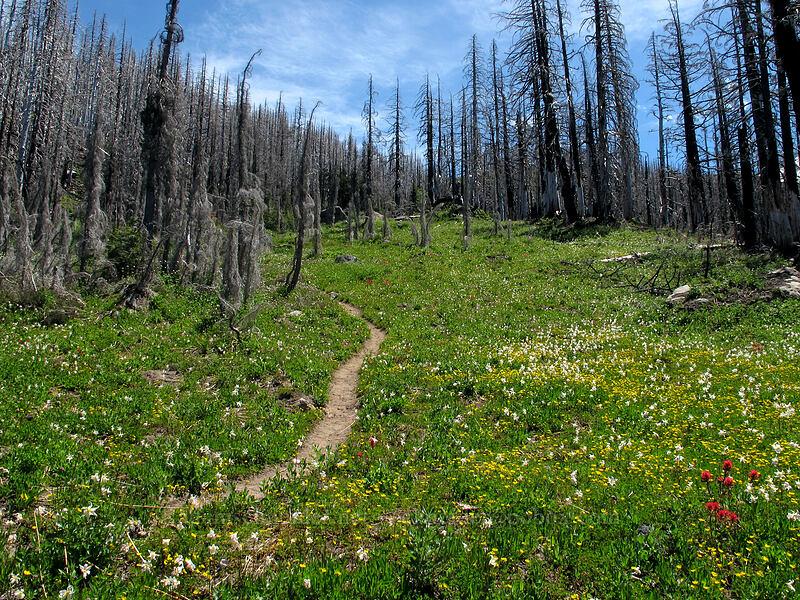 wildflowers & burnt trees (Castilleja parviflora var. oreopola, Erythronium montanum, Potentilla flabellifolia) [Eden Park Trail, Mt. Hood Wilderness, Oregon]