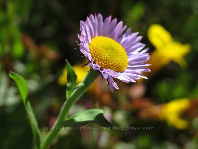 fleabane (Erigeron sp.) [Eden Park Trail, Mt. Hood Wilderness, Oregon]