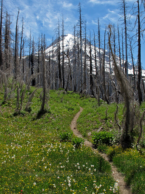 Mt. Hood, wildflowers, & burnt trees (Potentilla flabellifolia, Erythronium montanum) [Eden Park Trail, Mt. Hood Wilderness, Oregon]