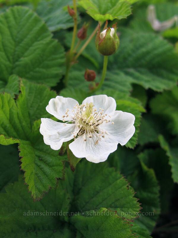 dwarf bramble (Rubus lasiococcus) [Vista Ridge Trail, Mt. Hood Wilderness, Oregon]