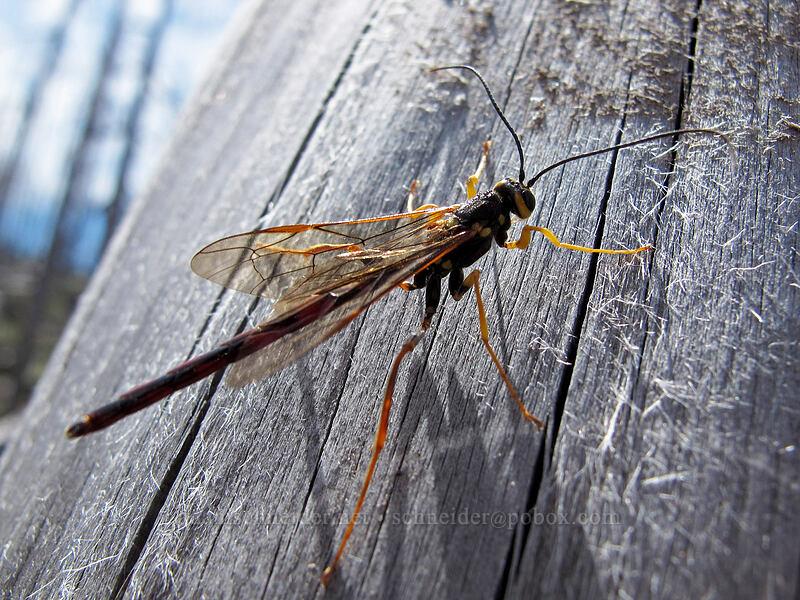 western giant ichneumon wasp (Megarhyssa nortoni) [Vista Ridge Trail, Mt. Hood Wilderness, Oregon]