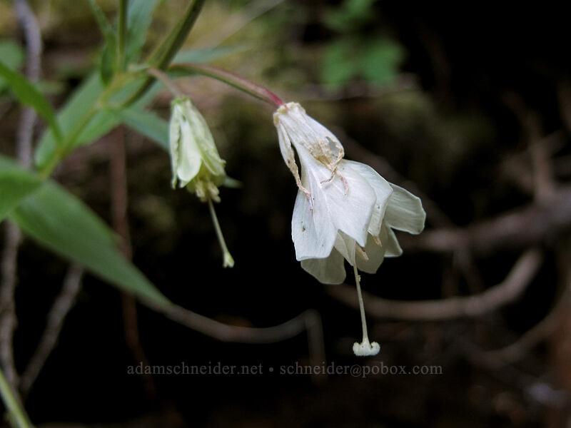 yellow willow-herb (Epilobium luteum) [Rachel Lake Trail, Alpine Lakes Wilderness, Washington]