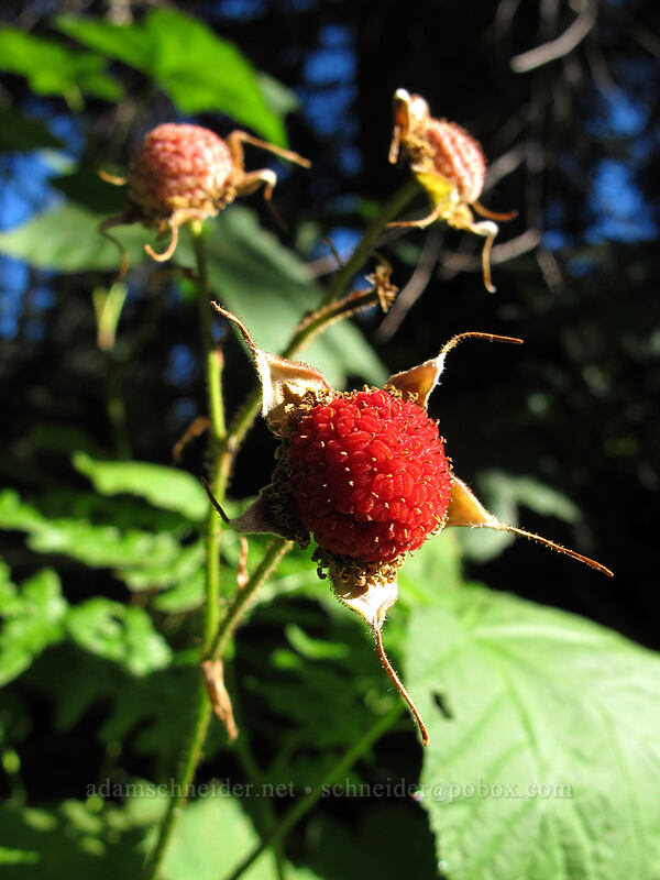 thimbleberries (Rubus parviflorus) [Rachel Lake Trail, Alpine Lakes Wilderness, Washington]