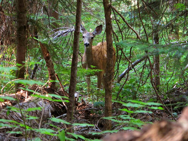 deer (Odocoileus hemionus columbianus) [Rachel Lake Trail, Alpine Lakes Wilderness, Washington]