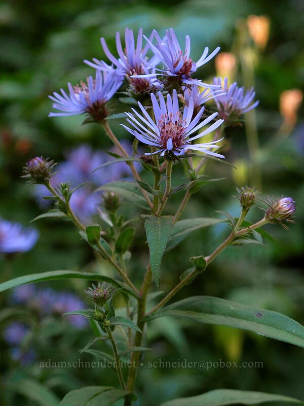 great northern aster (Canadanthus modestus (Aster modestus)) [Rachel Lake Trail, Alpine Lakes Wilderness, Washington]