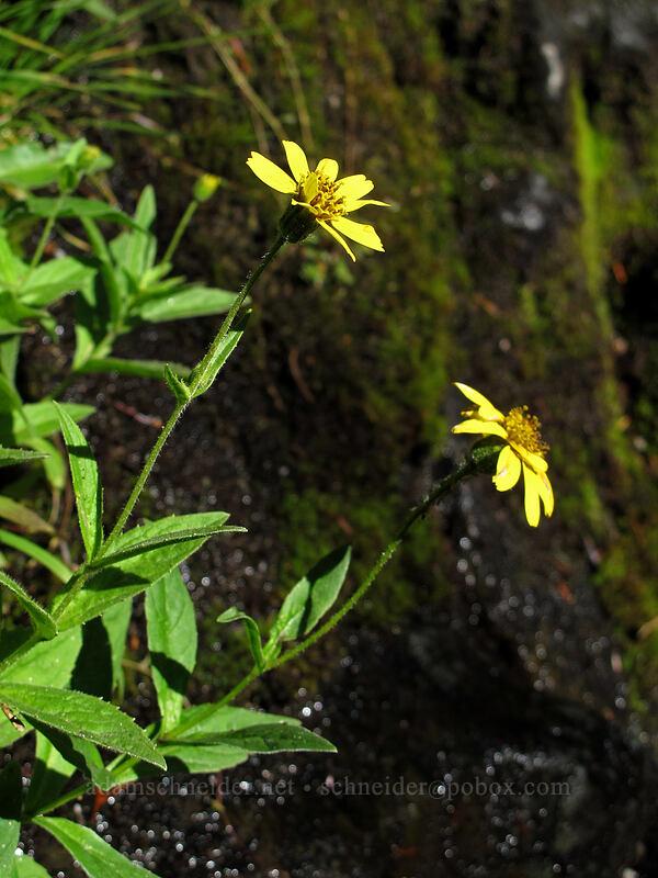 arnica (Arnica sp.) [Rachel Lake Trail, Alpine Lakes Wilderness, Washington]